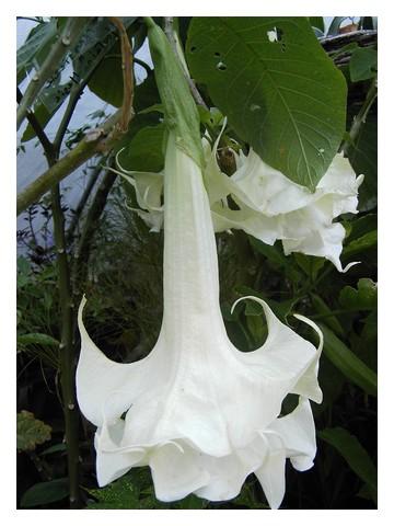 Creamsickle floraison hivernale