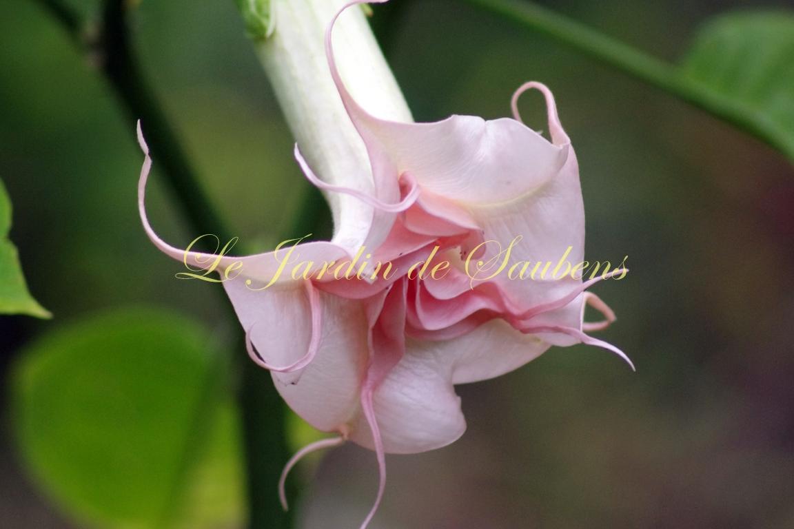 Angels Pink Pearl