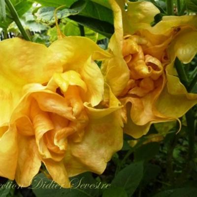 DS Fleur de Sommeville