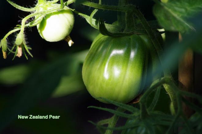 New Zealand Pear