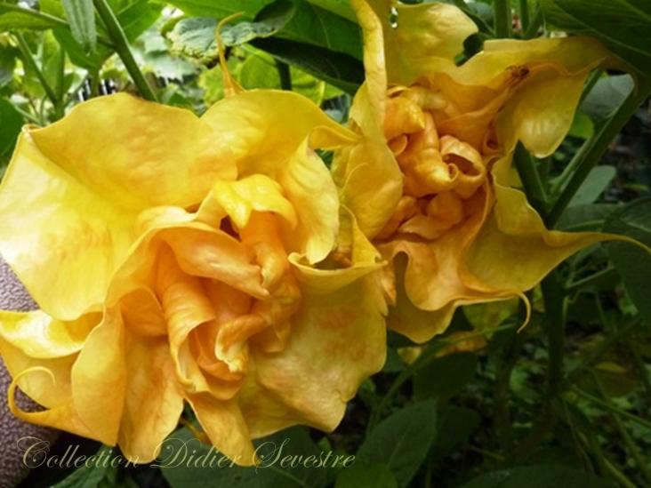 Fleur de sommeville 9 copier