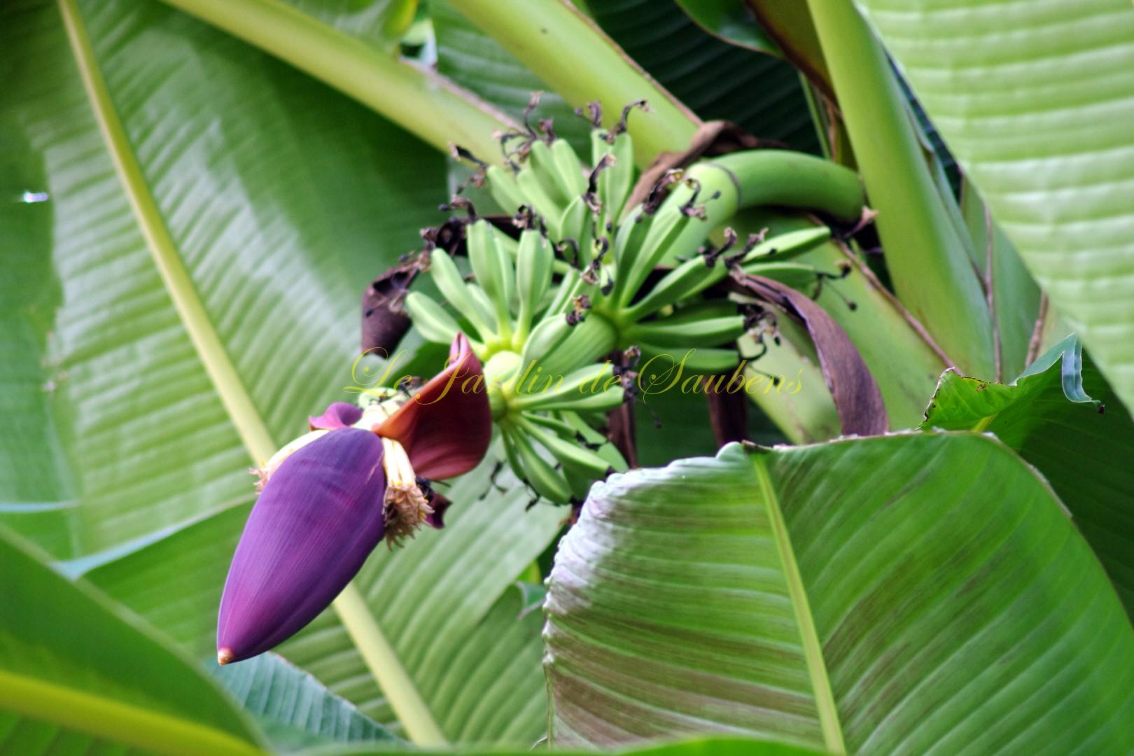 Fleur musa sikkimensis 2 copier