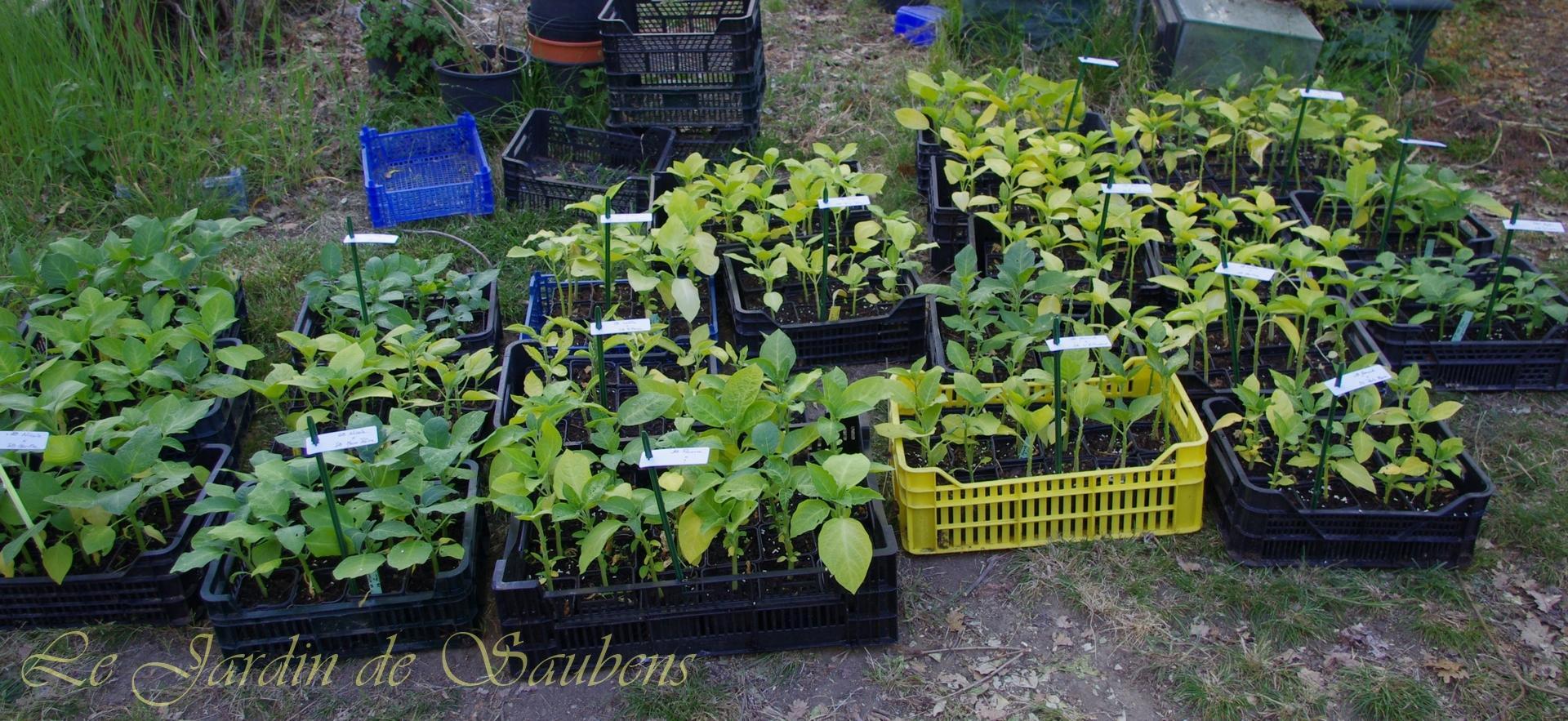 plants de brugmansias