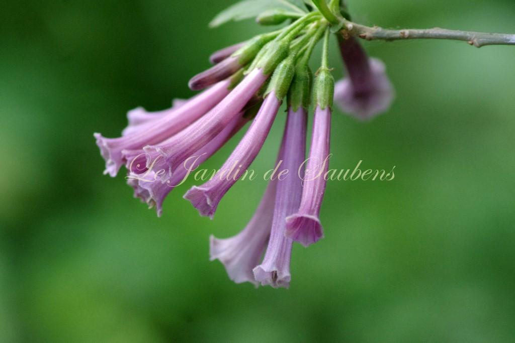 Iochroma lilas des garrosses
