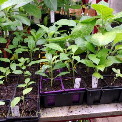 Petits plants issus de croisements copier