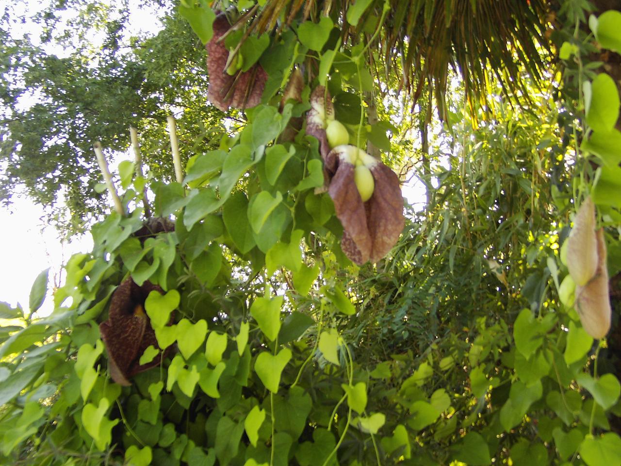 Les plantes du jardin de saubens for Les plantes du jardin