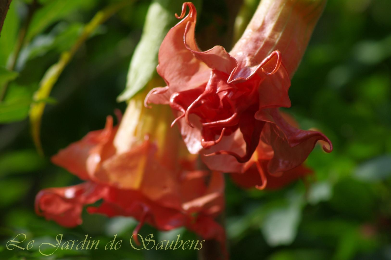 SB Laetitia Rose